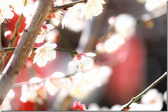 水田天満宮の白梅