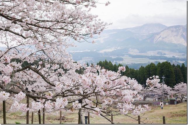 阿蘇と観音桜