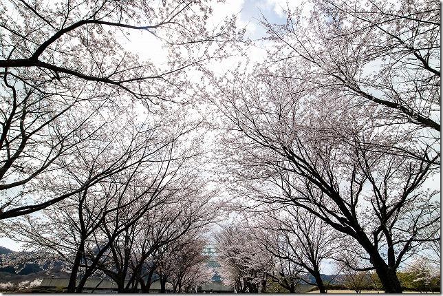 アスペクタの桜並木