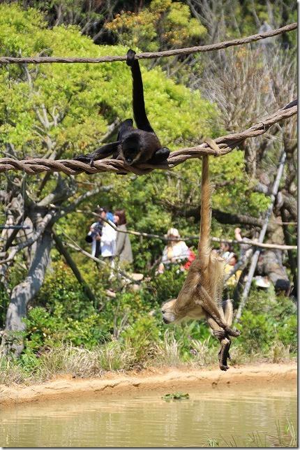 ときわ動物園、綱渡りする二匹の猿