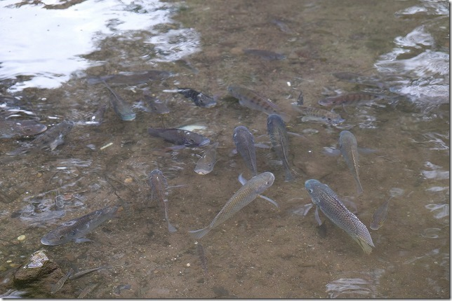 湯布院の金鱗湖の熱帯魚