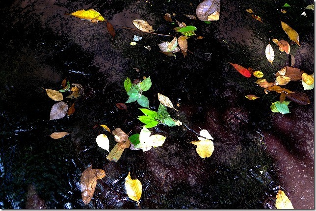 岳切渓谷の落ち葉、紅葉