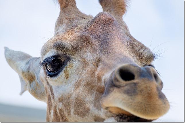大牟田動物園のキリンの顔