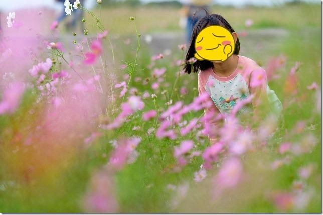 佐賀空港のコスモス畑と子供