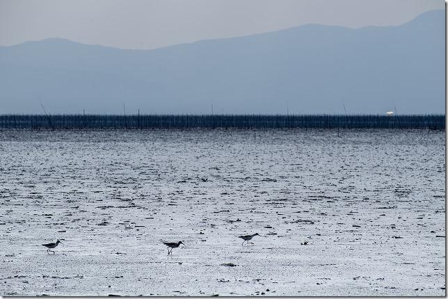 有明海の干潟の鳥