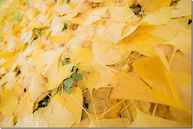 広川町のイチョウの絨毯