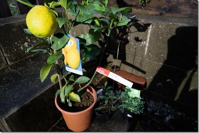 道の駅くるめ周辺でレモンの木