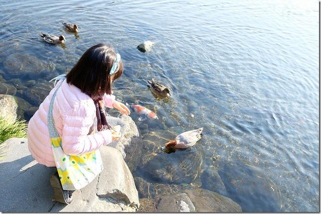 水前寺公園でコイとカモに餌やり