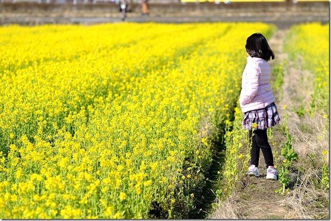 天草、100万本の菜の花園