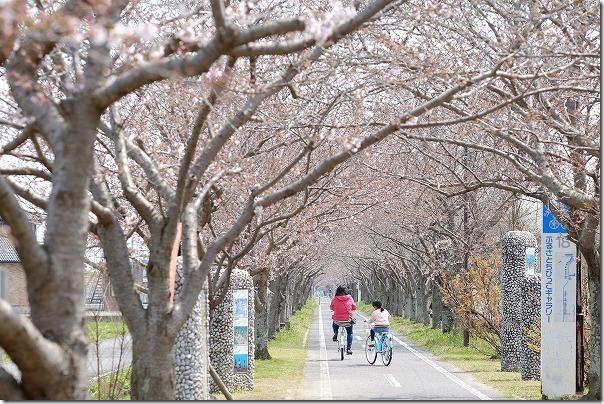 徐福サイクリングロードの桜のトンネル