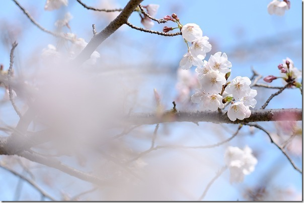 徐福サイクリングロードの桜は2,3部咲き