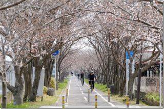 桜のトンネル 徐福サイクリングロード途中で食事(三重津海軍所カレーうどん)