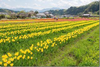 春の原尻の滝で馬とチューリップ畑(大分県豊後大野市)