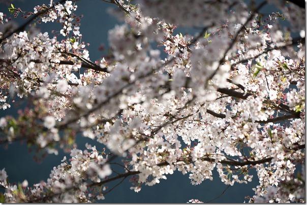 竹田、穴森神社の桜