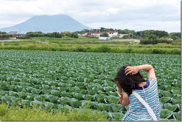 開聞岳とキャベツ畑