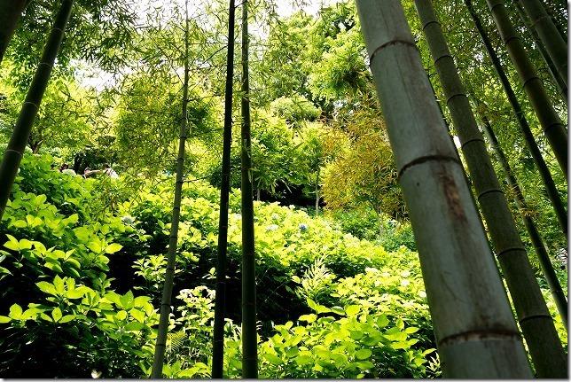 長谷寺のあじさいの路と竹林