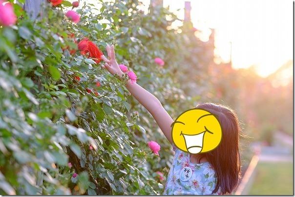 水俣ローズフェスタ、夕方のバラ