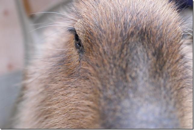 トリアス久山、触れ合い動物園のカピパラ