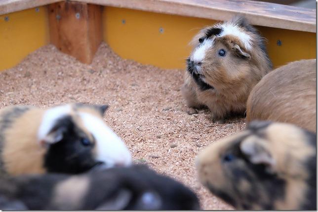 トリアス久山、触れ合い動物園のモルモット