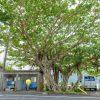 奄美大島 大きなガジュマルの大樹(田検バス停)