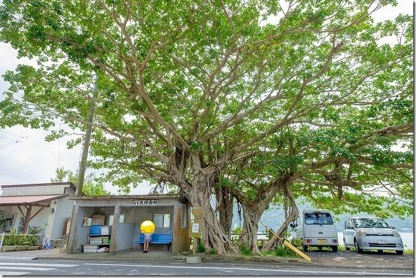 奄美大島,田検バス停のガジュマルの大樹
