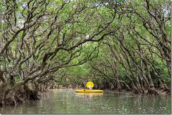 奄美大島、マングローブカヌー体験