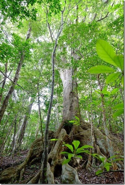 金作原原生林のオキナワウラジロガシの大木