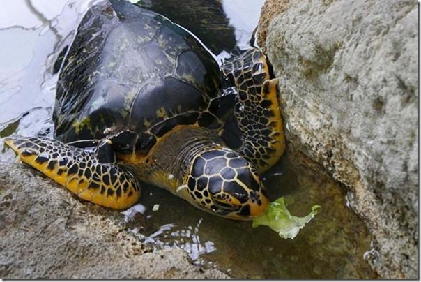 奄美大島で亀の餌やり