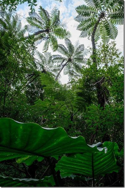 金作原原生林のクワズイモ、ヒカゲヘゴなど植物