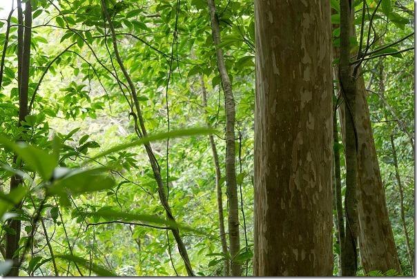 金作原原生林でシマサルスベリの大木