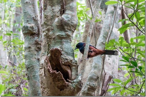 金作原原生林で野鳥、ルリカケス