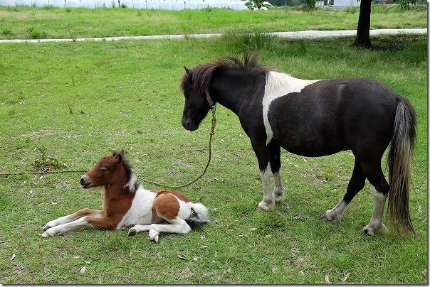 阿蘇,竹原牧場のポニー、赤ちゃん