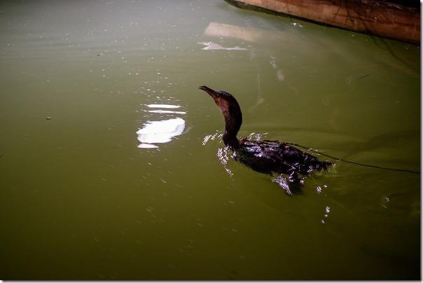 原鶴温泉の鵜飼いの鵜