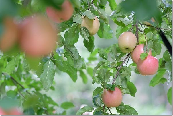 三瀬「まるじゅんりんご園」のりんご狩り「秋茜」