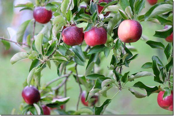 三瀬「まるじゅんりんご園」のりんご狩り「秋映え」