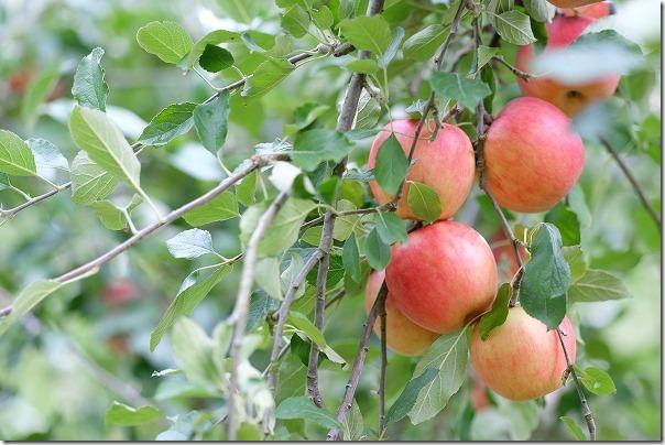三瀬「まるじゅんりんご園」のりんご狩り「紅玉」