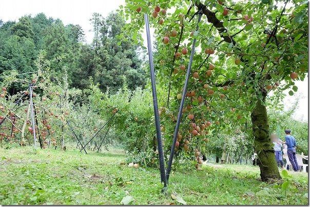 三瀬「まるじゅんりんご園」のたくさんのりんご