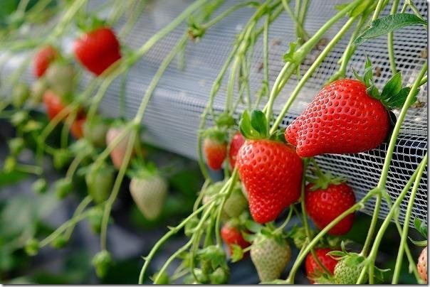 佐賀ベリーフォレストのイチゴの種類「かおりの」