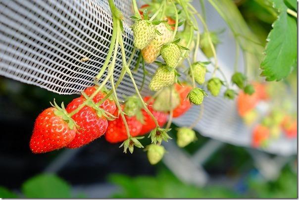 佐賀ベリーフォレストのイチゴの種類「紅ほっぺ」