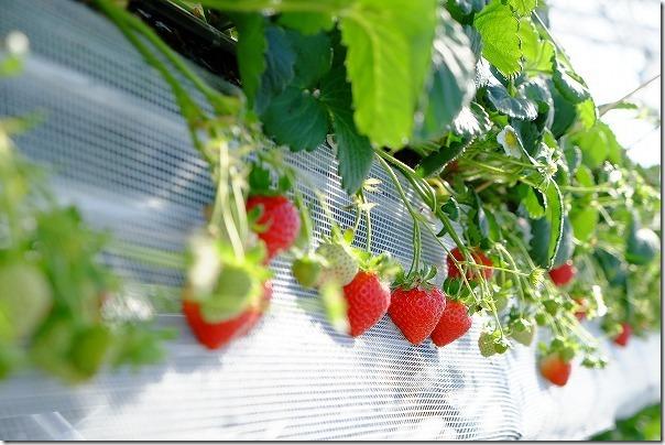 佐賀ベリーフォレストのイチゴの種類「恋みのり」