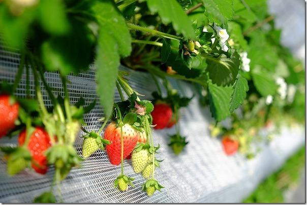 佐賀ベリーフォレストのイチゴの種類「スペシャルいちご」