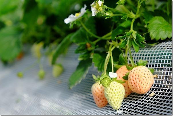 佐賀ベリーフォレストのイチゴの種類「MIX」