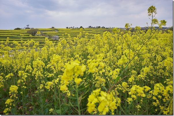 広大な菜の花畑、長崎鼻