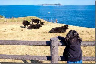 呼子 加部島で牛と海(杉ノ原放牧場・加部島展望台)