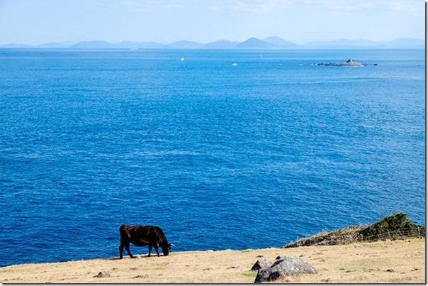 呼子、加部島の杉ノ原放牧場、牛と海