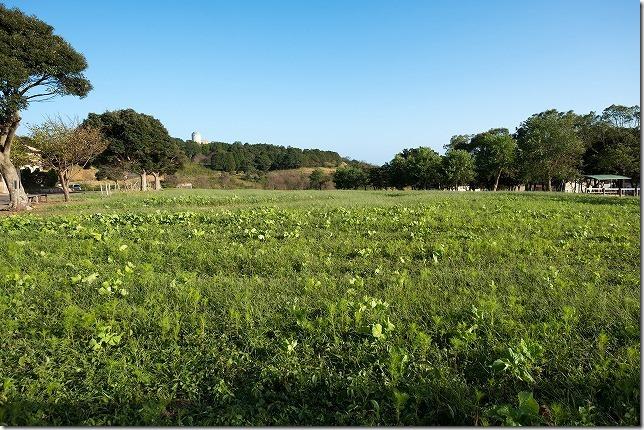 長崎,あぐりの丘のコスモス畑の開花状況