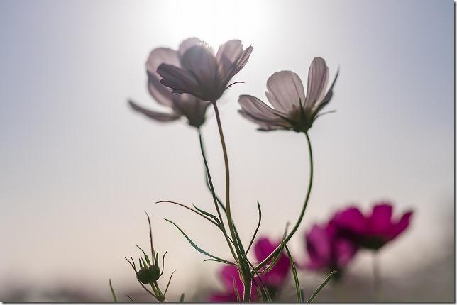 長崎,あぐりの丘のコスモス畑の開花状況、第二駐車場