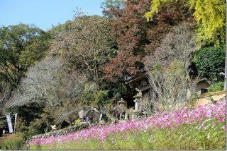 富貴寺のコスモス畑と紅葉(大分県豊後高田市)