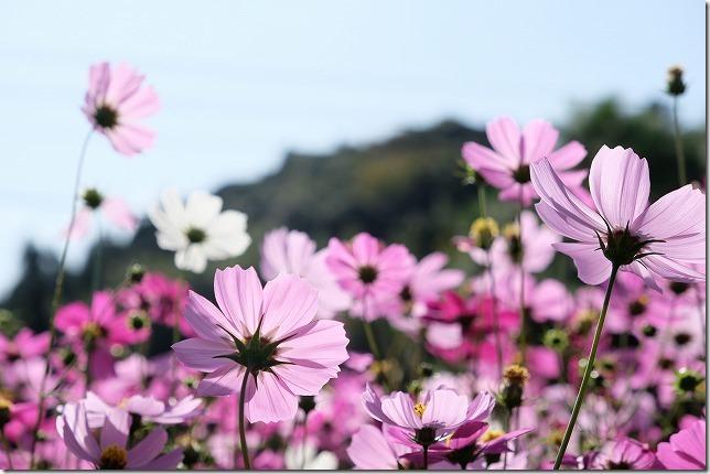 富貴寺のコスモス、開花状況