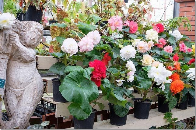 ポンポコ村ベゴニアガーデン(冬の開花状況)